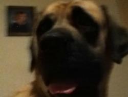 My mastiff, such a noble girl!